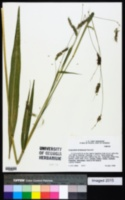 Image of Pennisetum distachyum