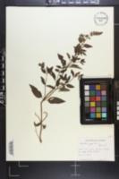 Mentha × piperita image