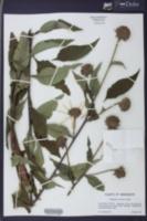 Helianthus resinosus image