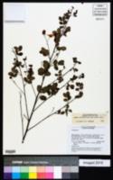 Image of Chamaecrista viscosa