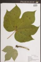 Firmiana simplex image