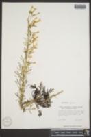 Image of Gilia attenuata
