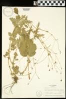 Geum vernum image