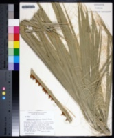 Washingtonia filifera image