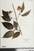Image of Viburnum wrightii
