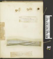 Oidium fructigenum image