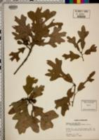 Quercus stellata var. mississippiensis image