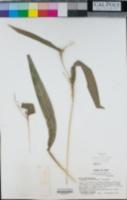 Coix lacryma-jobi image