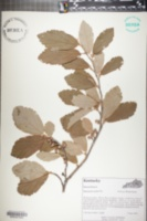 Hamamelis mollis image