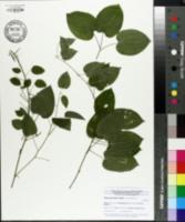 Image of Smilax pulverulenta