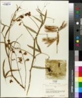Lathyrus sylvestris image
