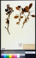 Pisonia obtusata image