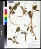 Viola primulifolia image