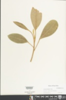 Image of Croton poecilanthus