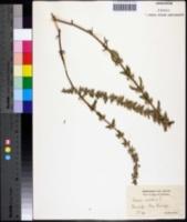 Image of Sideritis montana