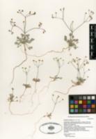 Image of Eriogonum pusillum