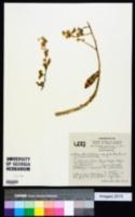 Image of Sedum ebracteatum