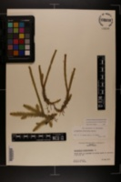 Lycopodiella prostrata image