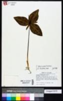 Image of Trillium ludovicianum
