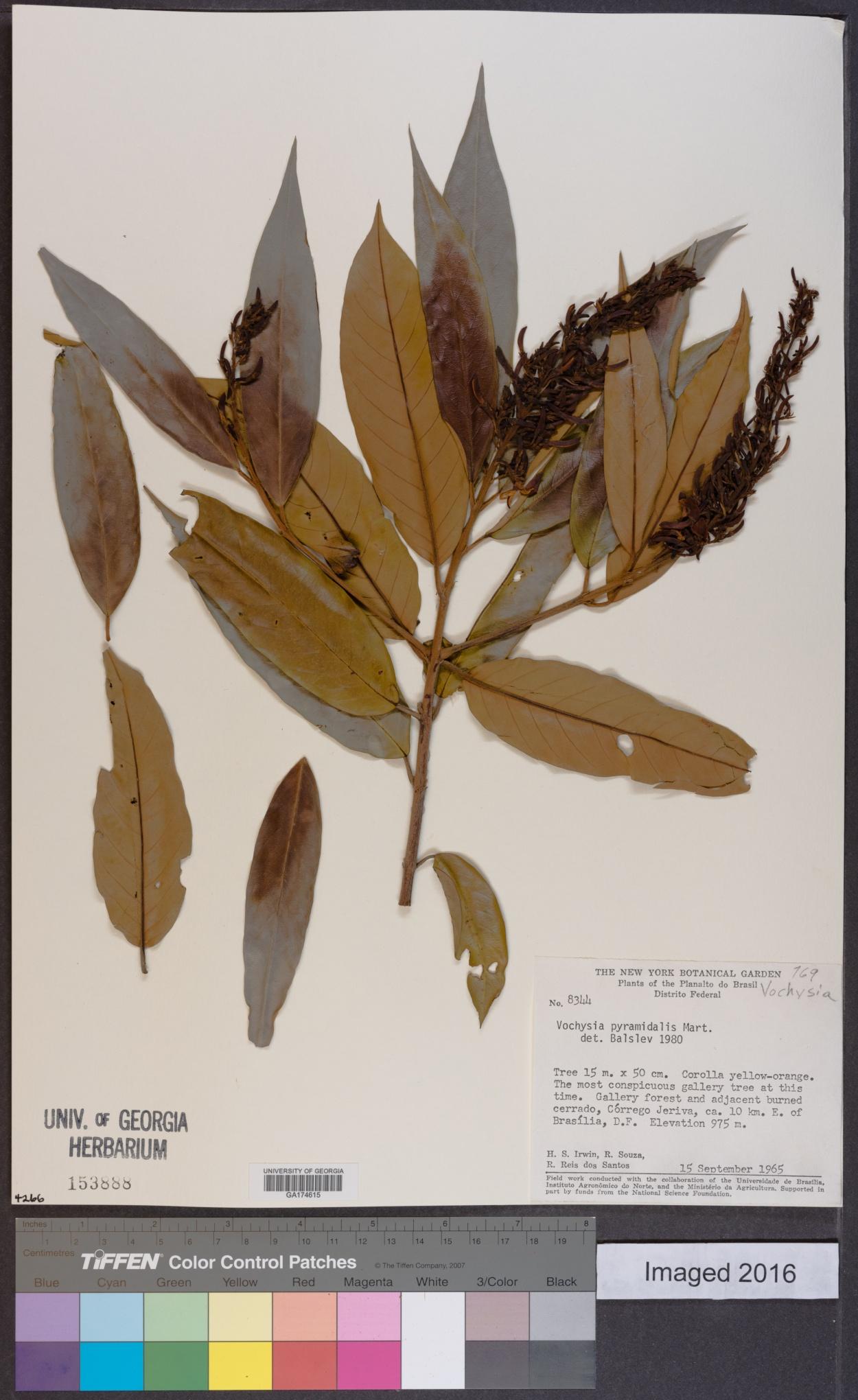 Vochysia pyramidalis image