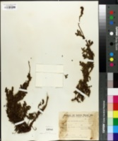 Image of Acaena fuscescens