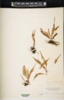 Adenophorus sarmentosus image