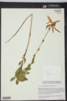 Image of Lilium pyrophilum