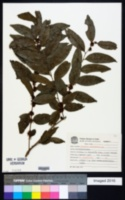 Casearia sylvestris image