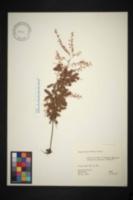 Acacia paradoxa image