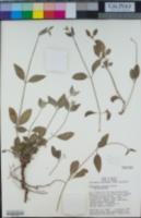 Image of Achyranthes watsonii