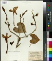 Ipomoea noctiflora image