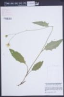 Image of Hieracium caesium