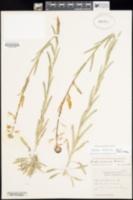 Image of Boechera californica