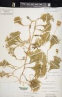 Diphasiastrum tristachyum image
