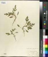 Image of Iva xanthiifolia