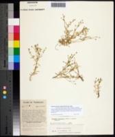 Image of Stellaria fontinalis