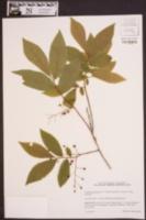 Gaylussacia ursina image
