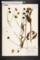Image of Helianthus agrestis