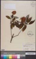 Cornus capitata image