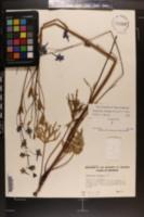 Delphinium treleasei image