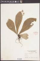 Elephantopus tomentosus image