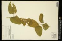 Smilax lasioneura image