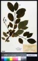 Prunus padus image