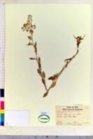 Rorippa islandica image