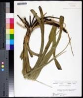 Melanthium virginicum image