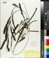 Image of Potamogeton malaianus
