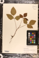Toxicodendron pubescens image