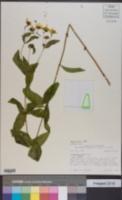 Coreopsis major var. major image