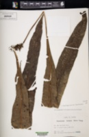 Image of Neocheiropteris fortunei