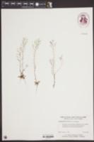 Arabidopsis thaliana image